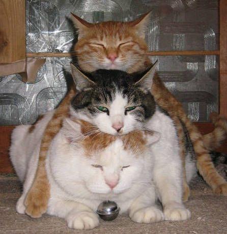 3-chats-empiles-les-un-sur-les-autres