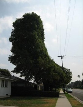 arbre taillé sur mesure