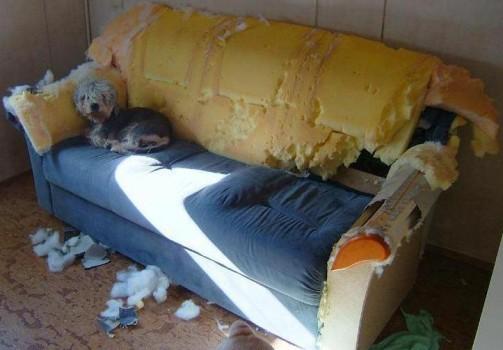gentil chien détruit le canapé