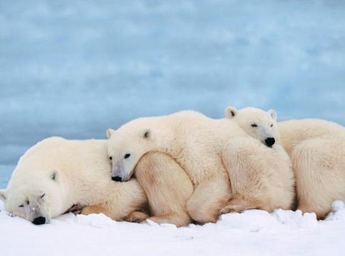 trois ours polaires se tiennent chaud