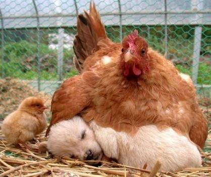 Une poule couve un chiot