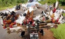 transporteur de poules