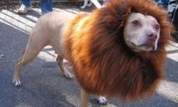 un chien déguisé en lion pour Mardi Gras