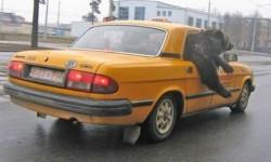 un ours dans un taxi jaune