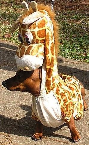 Un chien déguisé en girafe