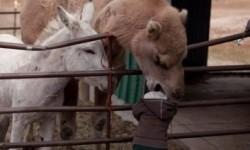 Le chameau veut manger un enfant