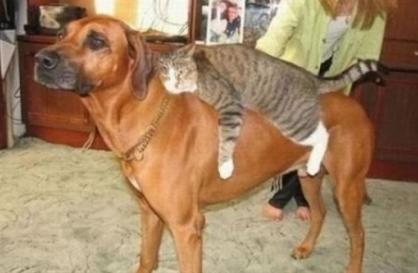Un chat se repose sur le dos d'un chien