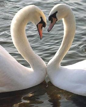 Deux cygnes qui forment un coeur