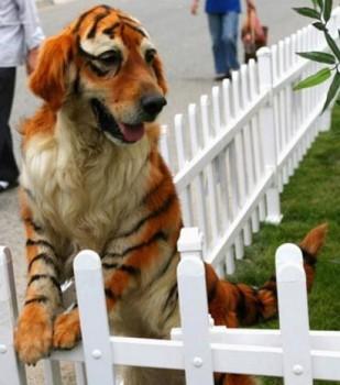 Un chien déguisé en tigre pour Mardi Gras