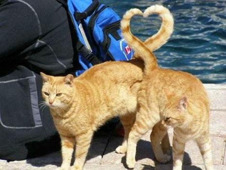 La saint Valentin aussi pour les chats