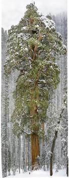 Le plus grand arbre du monde