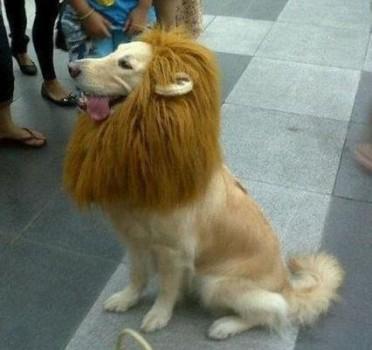 Un chien déguisé en lion